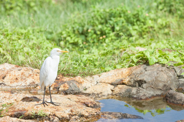Galle, Sri Lanka - A white asian egret taking a rest at a small river in Galle