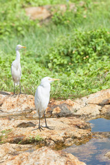 Galle, Sri Lanka - White asian egrets having a rest at a small river in Galle