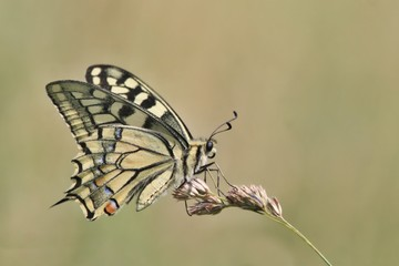 Butterfly old World swallowtail sitting on the grass blade. Papilio machaon.