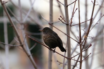A common blackbird sitting on the branch of a tree in the garden of the house