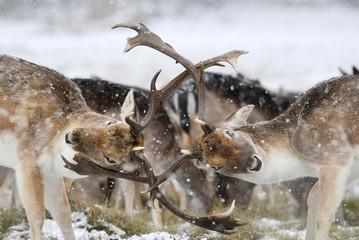 Deer clash antlers as snow falls in Richmond Park in London