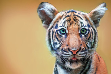 cute tiger cub with green eyes. The head is large.  free space for text design or logotype.