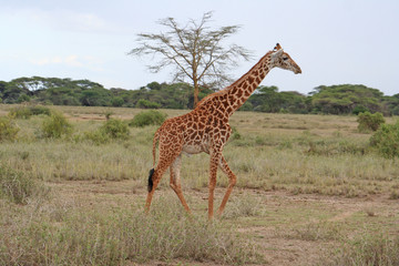 Giraffe im Nationalpark Tsavo East