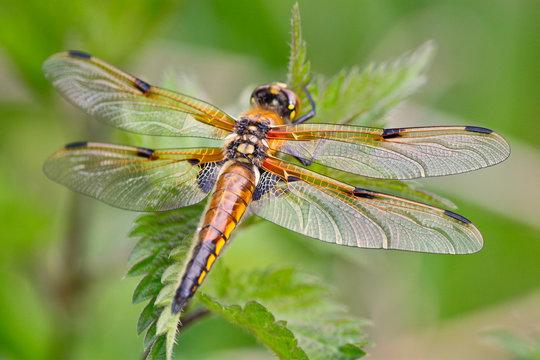 Libelle auf Blatt Natur grün