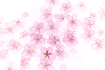 Cherry Blossoms background Spring image