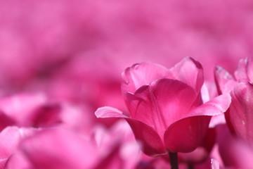 rosa Tulpe in Nahaufnahme - viele Tulpen im Hintergrund auf einem Blumenfeld