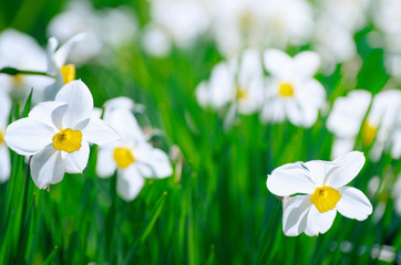 Wall Mural - Bright blooming white daffodils .