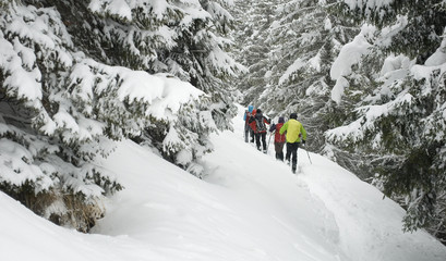group of people, sporty, make ski mountaineering (trekking), walking on path with fresh snow, after storm, pine forest covered with snow, isolated, winter, Alps, Vigezzo Valley, Piedmont, Italy