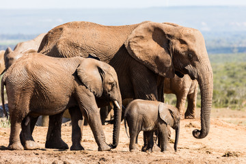 Three elephants in the Addo Elephant National Park in South Africa. There is an adult, young male and baby elepahant