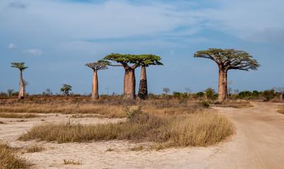 Printed roller blinds Baobab Gruppo di giganteschi baobab nella savana intorno a Morondava