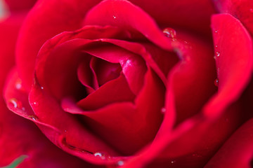 Beautiful red roses in the garden with rain drops of water on the green leaf. Bouquet of roses for Valentine Day - outdoors.