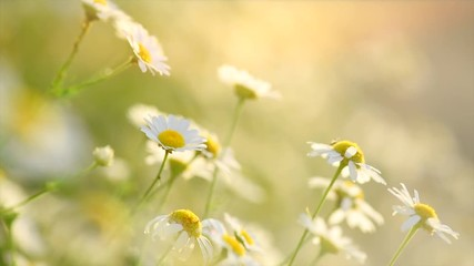 Klistermärke - Chamomiles. Beautiful spring nature scene with blooming medical chamomille flowers. Daisy flowers. 4K UHD video 3840X2160