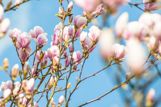 magnolia blue ground