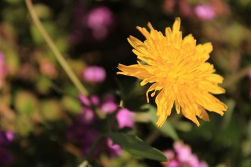 Beautiful and colorful Taraxacum Officinale flower