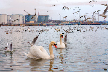 A family of beautiful swans swims in the lake. A lot of birds in the background.