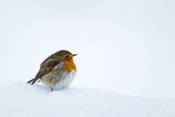 Wall Mural - Robin readbreast perched in snow with a white snow background.