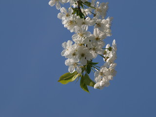 White cherry blossom in Nieuwerkerk aan den IJssel in garden with blue sky background