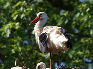 Stork  on a nest in NIeuwerkerk aan den IJssel in the Hitland forest