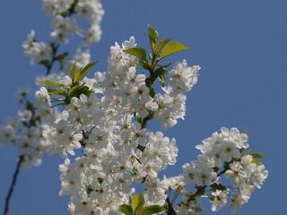 White cherry blossom in Nieuwerkerk aan den IJssel in garden with blue sky background