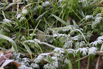 Frozen nettle in the field in winter
