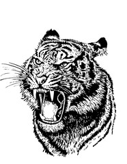 Graphical illustration of angry tiger isolated on white background. Vector tiger for coloring