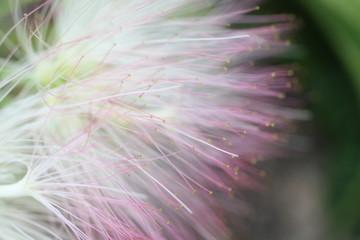 mimose blume