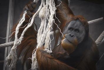 A horizontal image taken of Orangutan monkey climbing on ropes. Captured in Bratislava, Slovakia, Central Europe Could be used for Zoo/safari Ads OR website banner.
