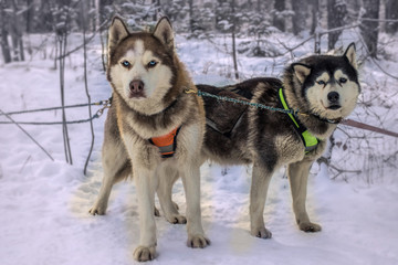 Sled dog racing alaskan malamute snow competition race