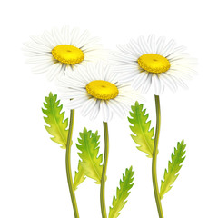 Vector realistic daisy chamomile flower set