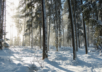 Sunlight in a snowy forest in Sweden