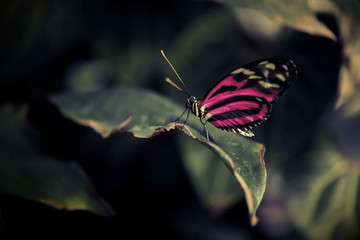 closeup of butterfly with alienated bright pink wings sitting on a leaf in contrasting dark sorrounding - theme about confidence, otherness and pride