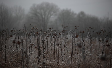 withered dead sunflower field grey dark frost covered in foggy winter background