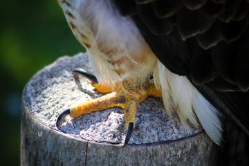 Close up of bald eagle talons Fotoväggar