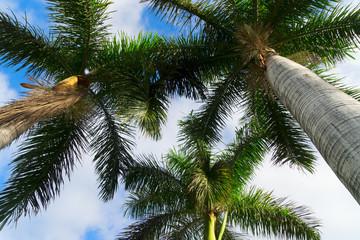 Palmas in blue sky