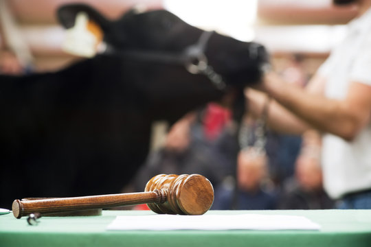 cattle in sale , cows calves  auction