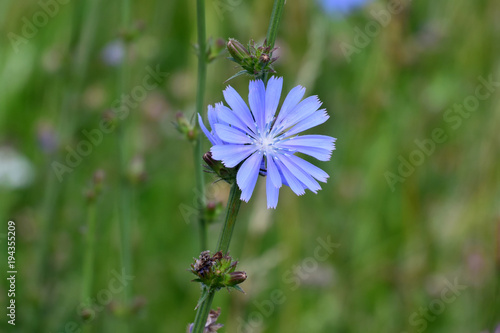 Beautiful blue flower of chicory on green grass background