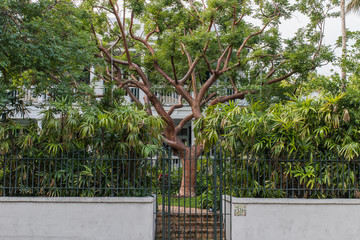 Gumbo limbo tree in front yard of Key West house
