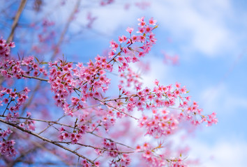 Royalty high quality free stock image of cherry blossom sakura (Prunus Cesacoides, Wild Himalayan Cherry) in springtime. Cherry blossom sakura (Prunus Cesacoides, Wild Himalayan Cherry) is very beauty