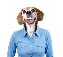 beagle head on a human model wearing a blue shirt studio portrait shot on an isolated white background