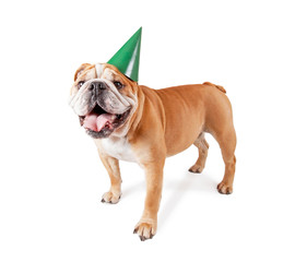bulldog with a birthday party hat on studio shot isolated on a white background
