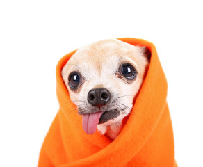 cute senior chihuahua wrapped in an orange blanket studio shot isolated on a white background