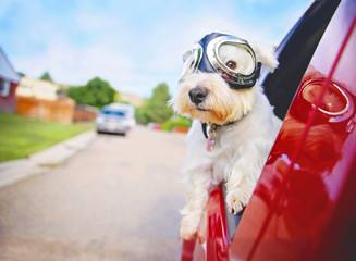 west highland white terrier with goggles on riding in a car with the window down through an urban city neighborhood on a warm sunny summer day Wall mural