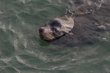 Sea lion portrait swimming in the Pacific Ocean