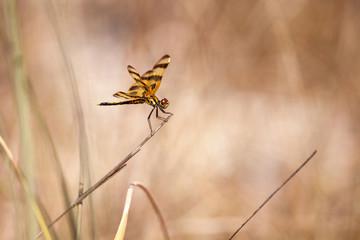 Halloween pennant dragonfly Celithemis eponina