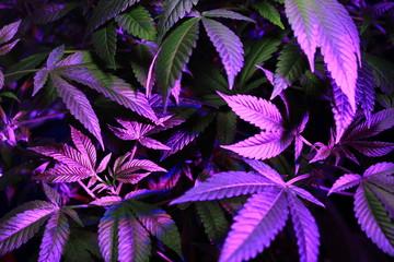 cannabis leaves