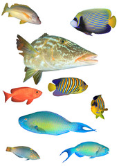 Collection reef fish of Indian and Pacific Oceans. Tropical fish isolated on white background