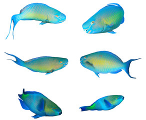 Collection Parrotfish reef fish isolated white background