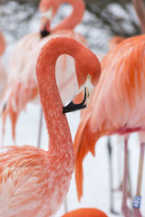 A few flamingos in the winter.