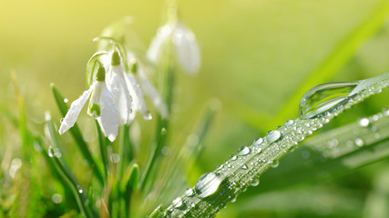 Wall Mural - Dew drop on green grass and snowdrop flowers on meadow. Spring season.
