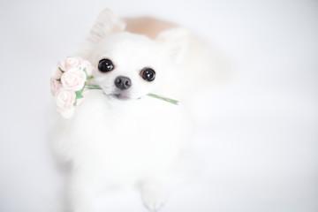 バラの花束を咥えたチワワ 4